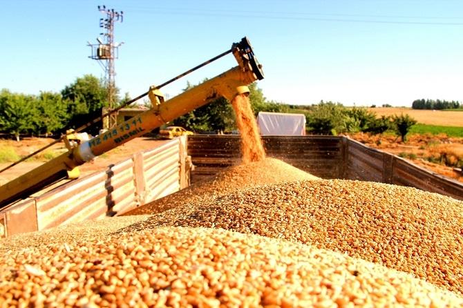 Bismil'de Buğday Hasadı Başladı 2