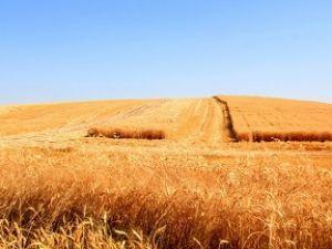 Bismil'de Buğday Hasadı Başladı