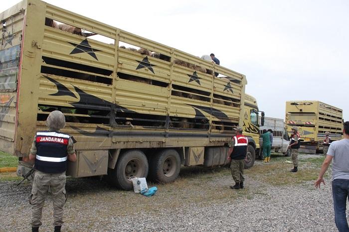 650 kaçak  koyun ele geçirildi