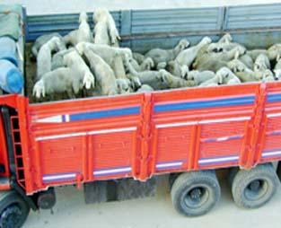Bismil'de Hayvan Hırsızlığı
