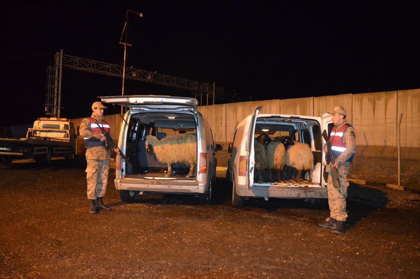 Jandarmadan kaçan araçlarda çalıntı koyunlar bulundu