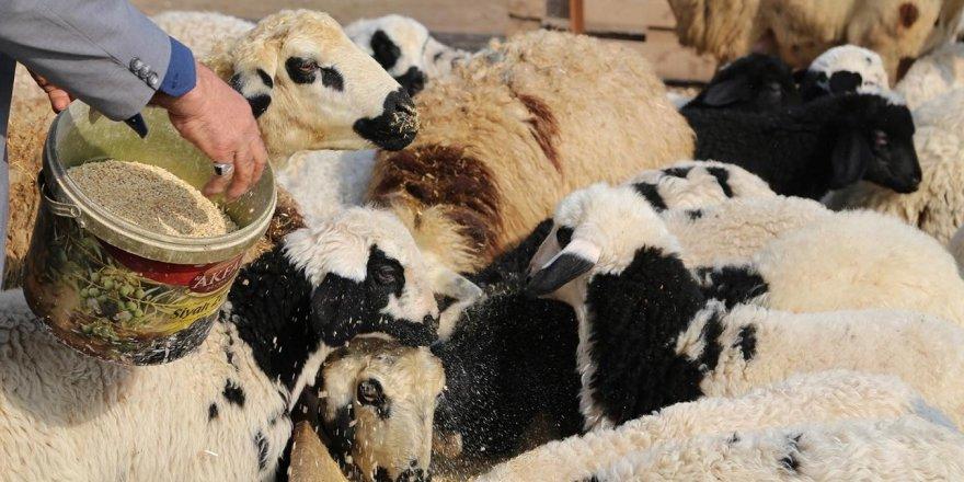 Üretici başına 300 koyun projesinin detayları açıklandı