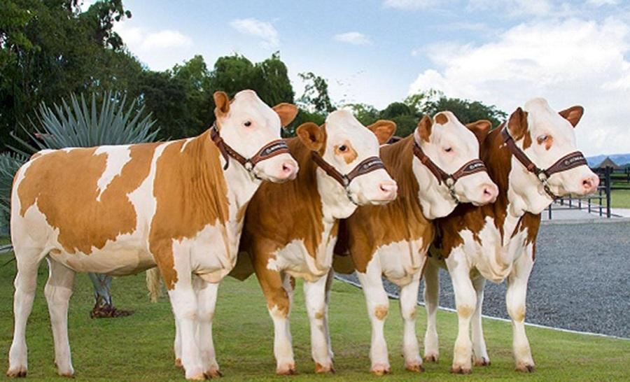 500 bin canlı hayvan ithal edilecek