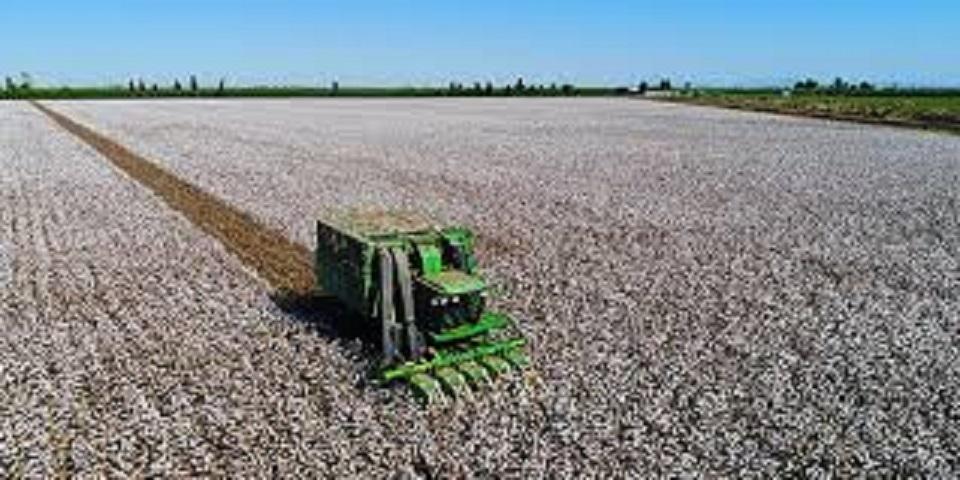 Pamuk fiyatları son bir yılda yüzde 26 oranında geriled