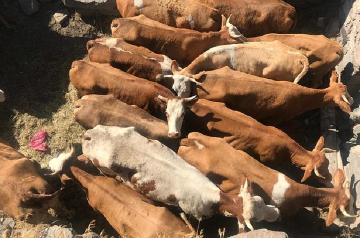 Çınar'da büyükbaş hayvan hırsızlığı
