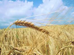 Bismil'de Buğday Yetiştiriciliği Toplantısı