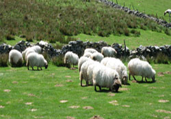 Koyunlar tarlaya girince kavga çıktı