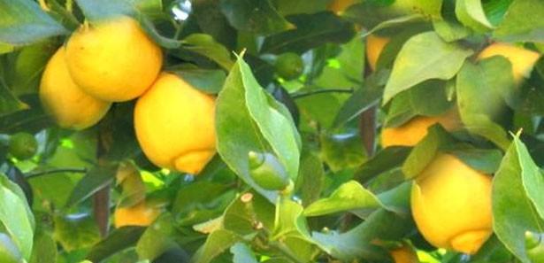 Yüzümüzü ekşiten limon nelere şifa değil ki