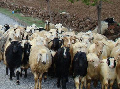 Hayvancılık Sektörüne İstikrar Getirecek