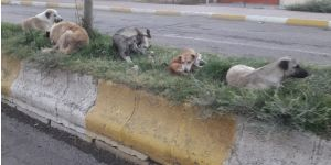 Başıboş köpekler barınağa götürülsün