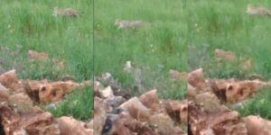 Diyarbakır'daki leopar ilk kez görüntülendi