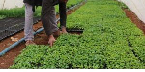 Bismil'de tarım işçileri hem oruç tutuyor hem tarlada çalışıyor