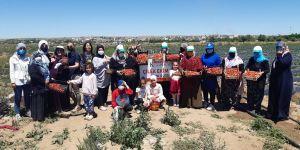 Kadınlar, Bismil Belediyesi'nin Sunduğu İmkanla Çilek Hasadına Başladı