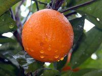 C vitamini soğuk algınlığını engellemiyor